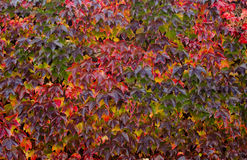Climbing plant with colored leaves in autumn. Background Stock Photo