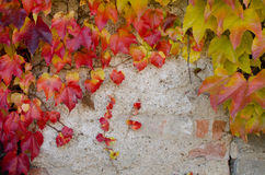 Climbing plant with colored leaves in autumn on the stone wall. Climbing plant with colored leaves in autumn on the wall Stock Photos
