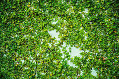 Climbing plant on the concrete wall. Green leaves Stock Photos