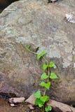 Climbing Plant Royalty Free Stock Photography