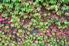 Climbing plant, Ivy leaves on the brick wall turning into Autumn Stock Photos