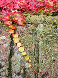 Climbing plant, Ivy leaves, green moss, pixie cup lichen on bric. K wall during Autumn season Stock Image