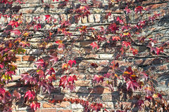 Climbing plant on old brick wall. Background Royalty Free Stock Photo