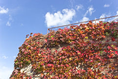 Climbing plant on old brick wall. Over blue sky Royalty Free Stock Image