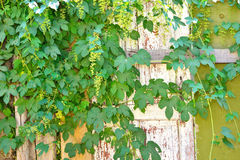 Climbing plant and an old door Stock Photography