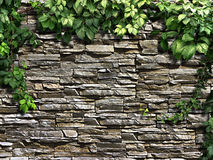 Climbing plant on the old stone wall Stock Images