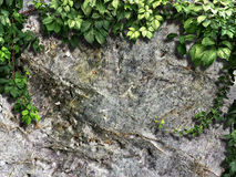 Climbing plant on the old stone wall Royalty Free Stock Images