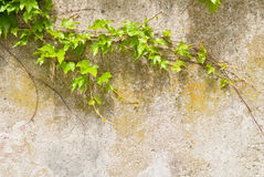 Climbing plant over wall Royalty Free Stock Photography