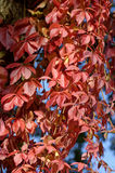 Climbing plant Parthenocissus Royalty Free Stock Photos