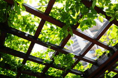 Climbing plant on the pergola. The climbing plant with foilage on the pergola top Stock Photos