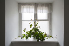 Climbing plant in a pot. On the windowsill Royalty Free Stock Images
