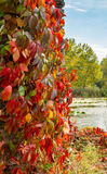 Climbing plant with red leaves in autumn. On the old stone wall, closeup view Royalty Free Stock Photography
