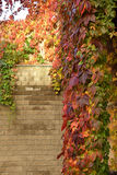 Climbing plant with red leaves in autumn. On the stone wall Stock Images