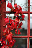 Climbing plant with red leaves Royalty Free Stock Images