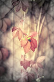 Climbing plant with red leaves. And fruits Stock Image