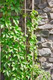 Climbing plant on the rock wall Royalty Free Stock Photos