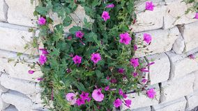 Climbing plant in the wall. Beautiful climbing plant with pink and purple flowers. Vines plant or creeper plant known by the names mallow bindweed and mallow Stock Photo