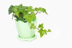 Climbing plant on a white background Stock Photography