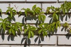 Climbing plant on white bricks. Wall Stock Photos