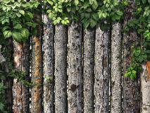 Climbing plant on a wooden fence of logs Stock Photography