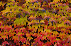 Climbing plant with yellow and red leaves in autumn, background Stock Photos