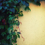 Climbing plant on the yellow wall - toned image. Royalty Free Stock Images