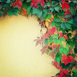 Climbing plant on the yellow wall - toned image. Royalty Free Stock Image