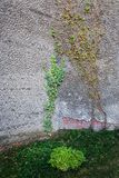 Climbing plants climb the stone wall. Royalty Free Stock Photos