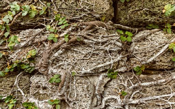 Climbing plants on grungy stone wall. Natural background and tex Royalty Free Stock Image