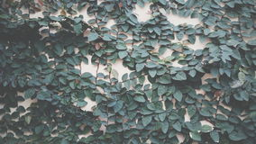 climbing plants Stock Images