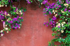Climbing plants on an old red wall. Copy space Stock Images