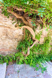 Climbing plants in the old stones Lovech, Bulgaria stock images