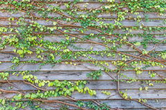 Climbing plants on old wooden Royalty Free Stock Photos