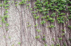 Climbing plants on wall Royalty Free Stock Photos