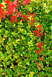Climbing plants on the wall Royalty Free Stock Photography