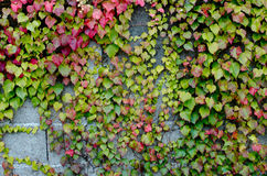Climbing plants Stock Image