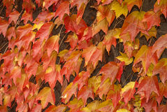 Climbing plants for walls in fall. Red,yellow climbing plants for walls in autumn stock photo