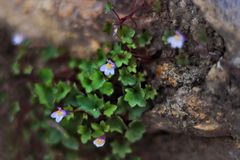 Climbing purple tiny flowers growing on rocks royalty free stock image