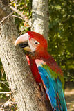 Climbing red-and-green macaw (Ara chloroptera). Red-and-green macaw (Ara chloroptera) on a tree trunk stock photography