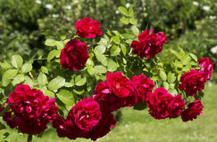 Climbing red rose Stock Photos