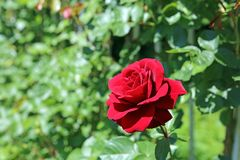 Climbing Red Roses Royalty Free Stock Images