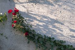 Climbing red roses on a frame on a old wall and blooming bush. Stock Photography