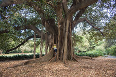 Climbing Roots. SYDNEY,NSW,AUSTRALIA-NOVEMBER 20,2016: Fig tree with aerial roots, and child climbing trunk, during springtime at the Royal Botanic Gardens in Stock Photos