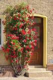 Climbing rose royalty free stock photography