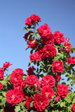 Climbing rose Stock Image