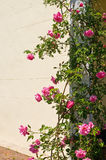 Climbing rose bush. A view of a pretty climbing rose bush growing on the side doorway of an old southern mansion Stock Image