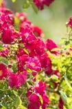 Climbing rose bush in summer sun Royalty Free Stock Photos