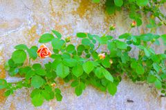 Climbing Rose Creates a Bough Across Old Stone Wall. A bough pattern is created by this climbing orange rose plant, which has attached itself to a historic stone stock images