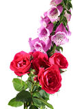 Climbing rose and digitalis Royalty Free Stock Photography