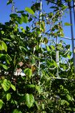 Climbing rose on a gazebo stock photography